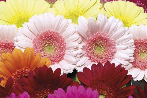 Flores: Gerbera
