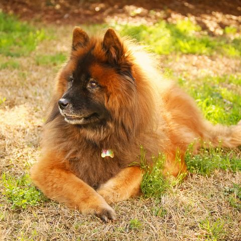 german dog breeds - eurasier