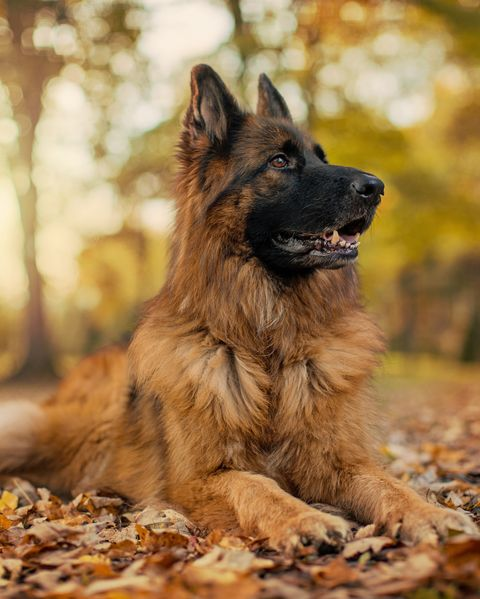 german shepherd in fall