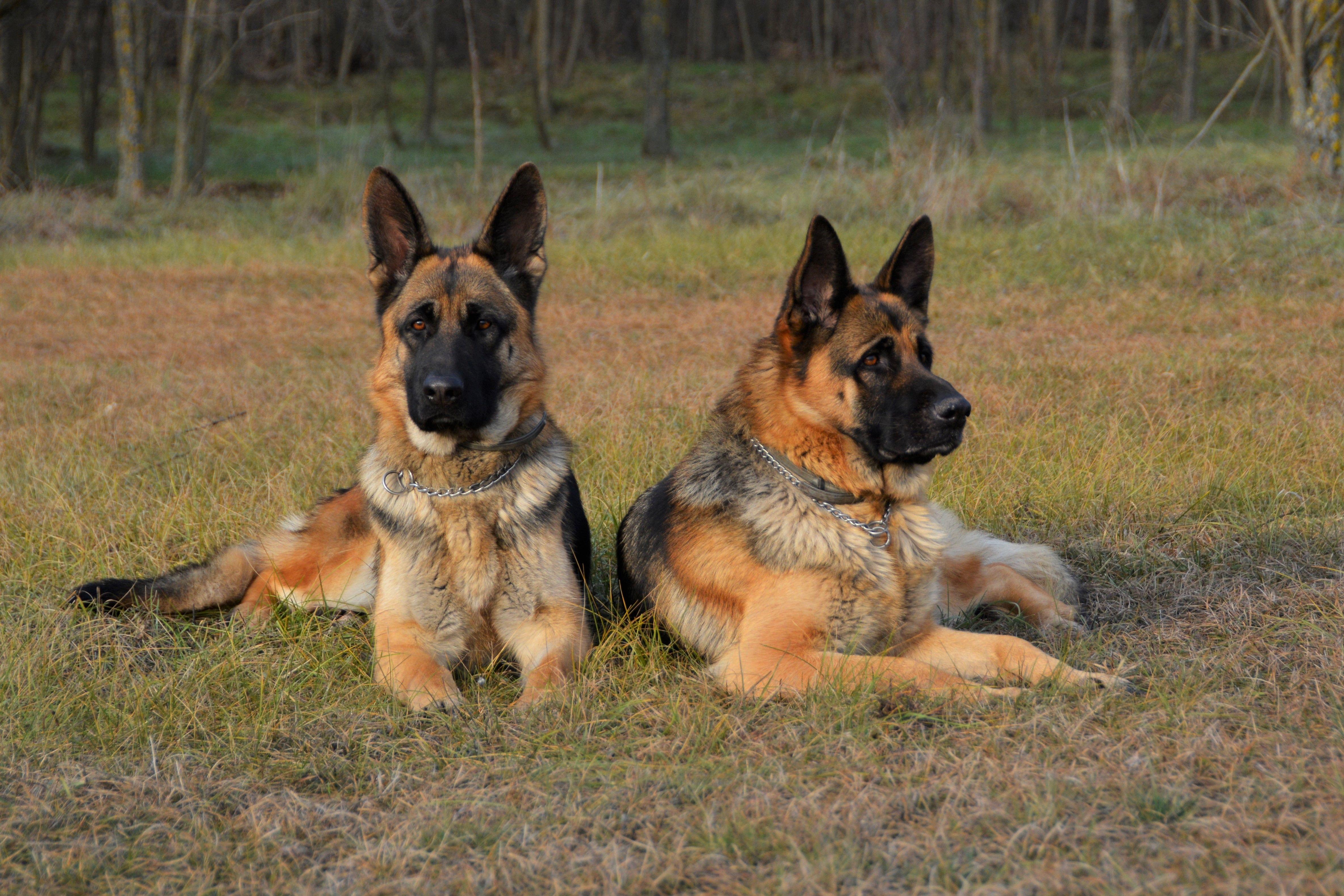 Top Guard Dog Breeds