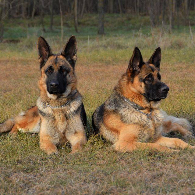 best guard dogs - German Shepherds Relaxing On Grassy Field