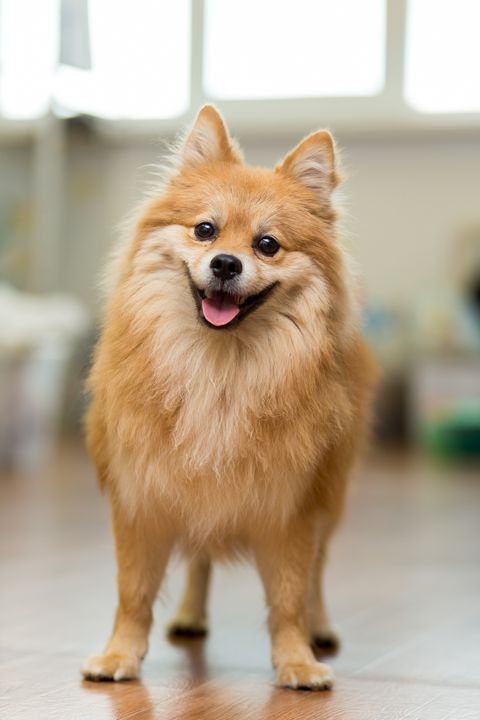 Good Dog Breeds For Apartment Living