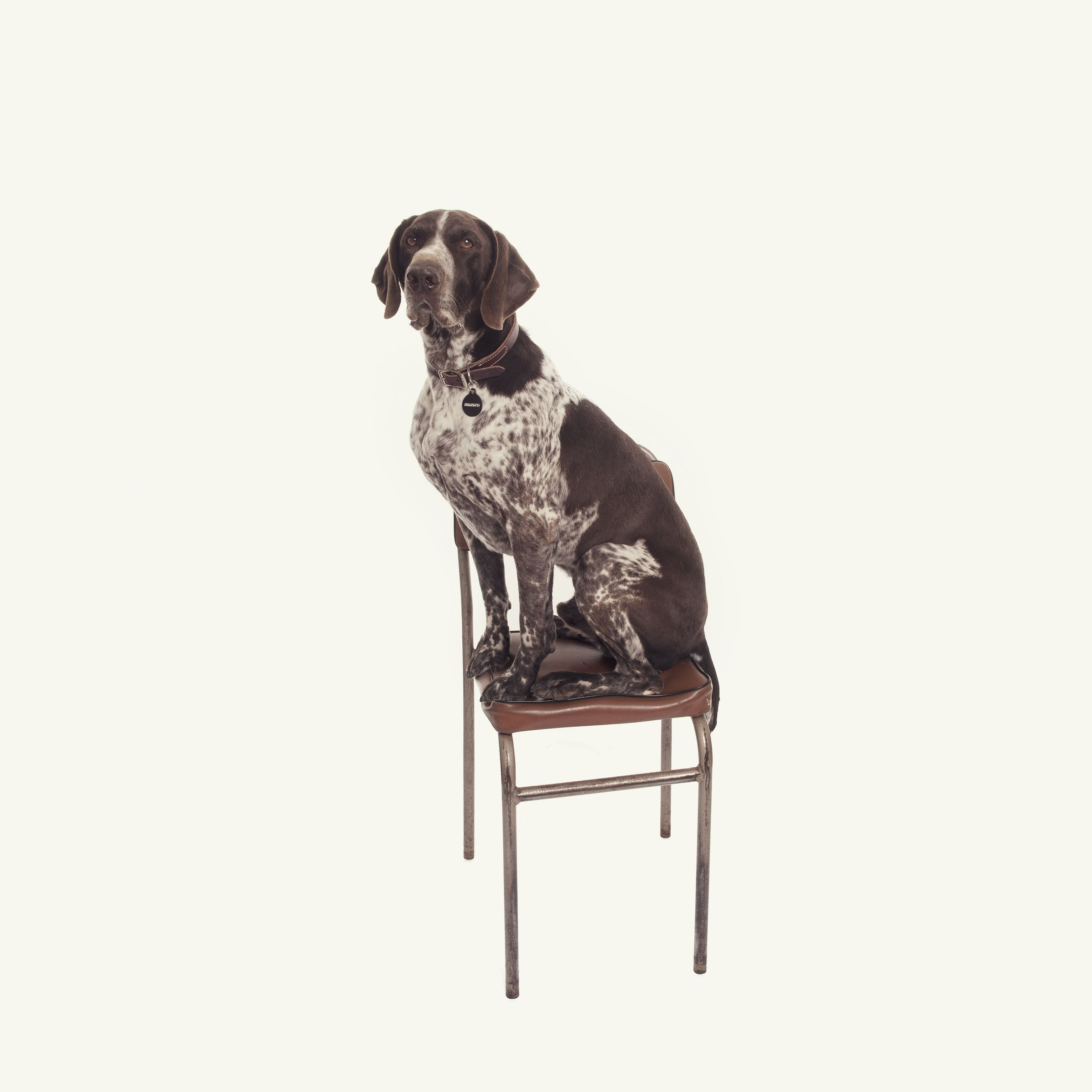 Top Dog Breeds --GermanShort Haired Pointer