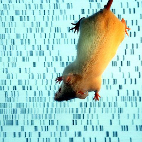 germany, munich   a transgenic mouse