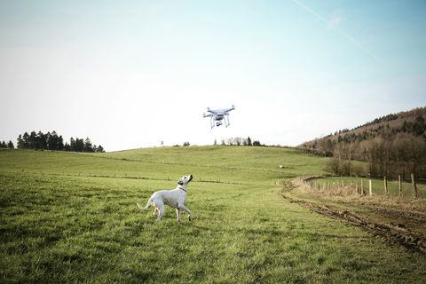 Germany, Sauerland, mongrel on a meadow watching flying drone