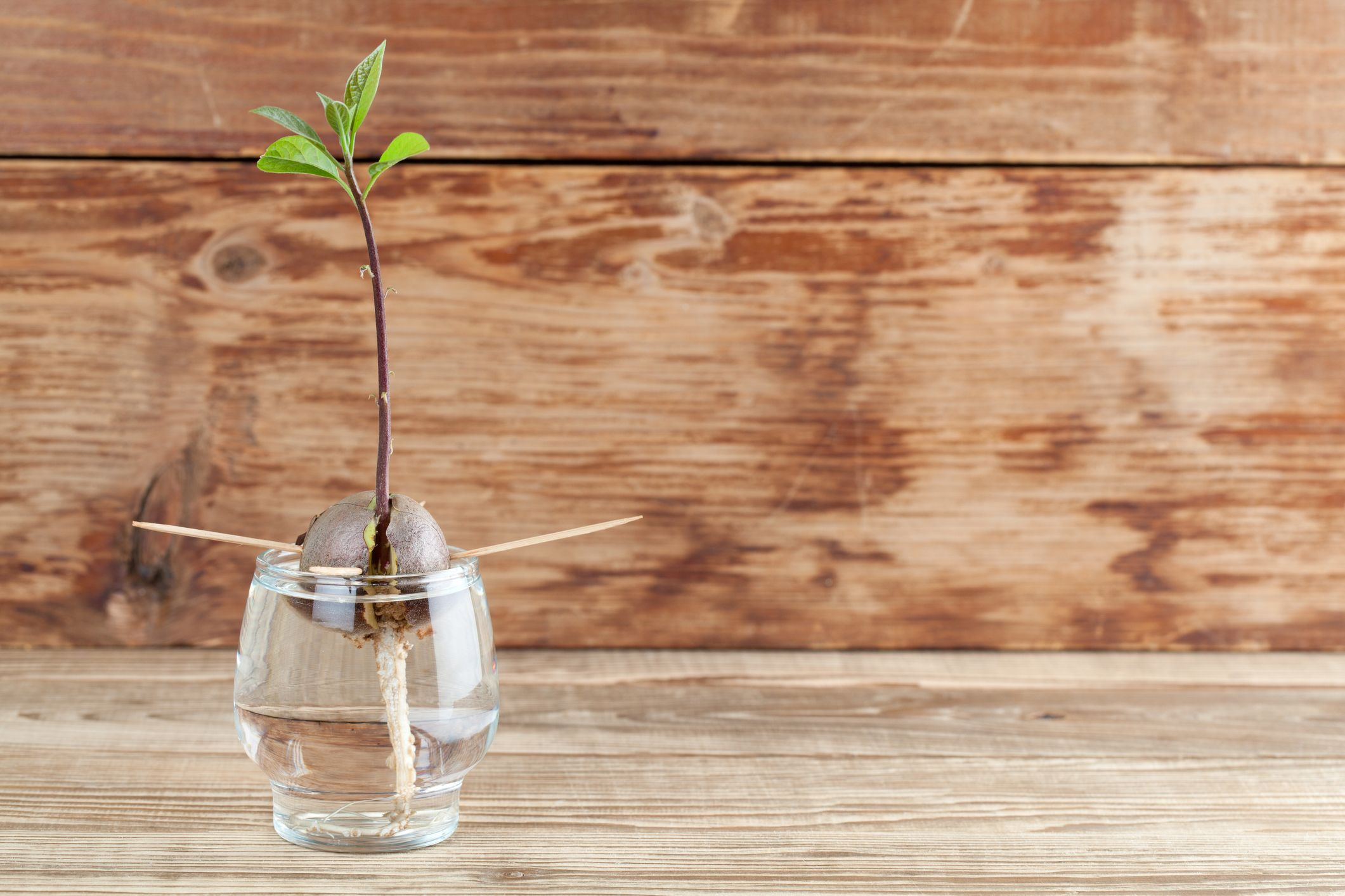 How to Grow an Avocado Tree - Growing an Avocado From a Pit