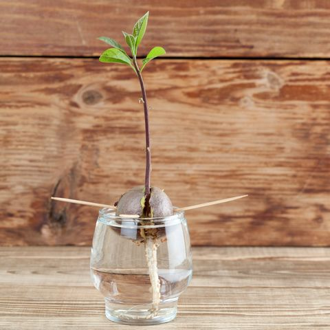 How To Grow An Avocado Tree Growing From A Pit