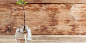 how to grow avocado tree