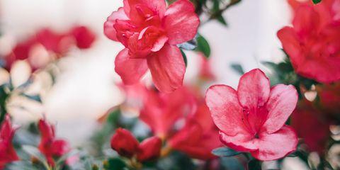 Flower, Flowering plant, Petal, Pink, Red, Plant, Spring, Botany, Branch, Close-up,