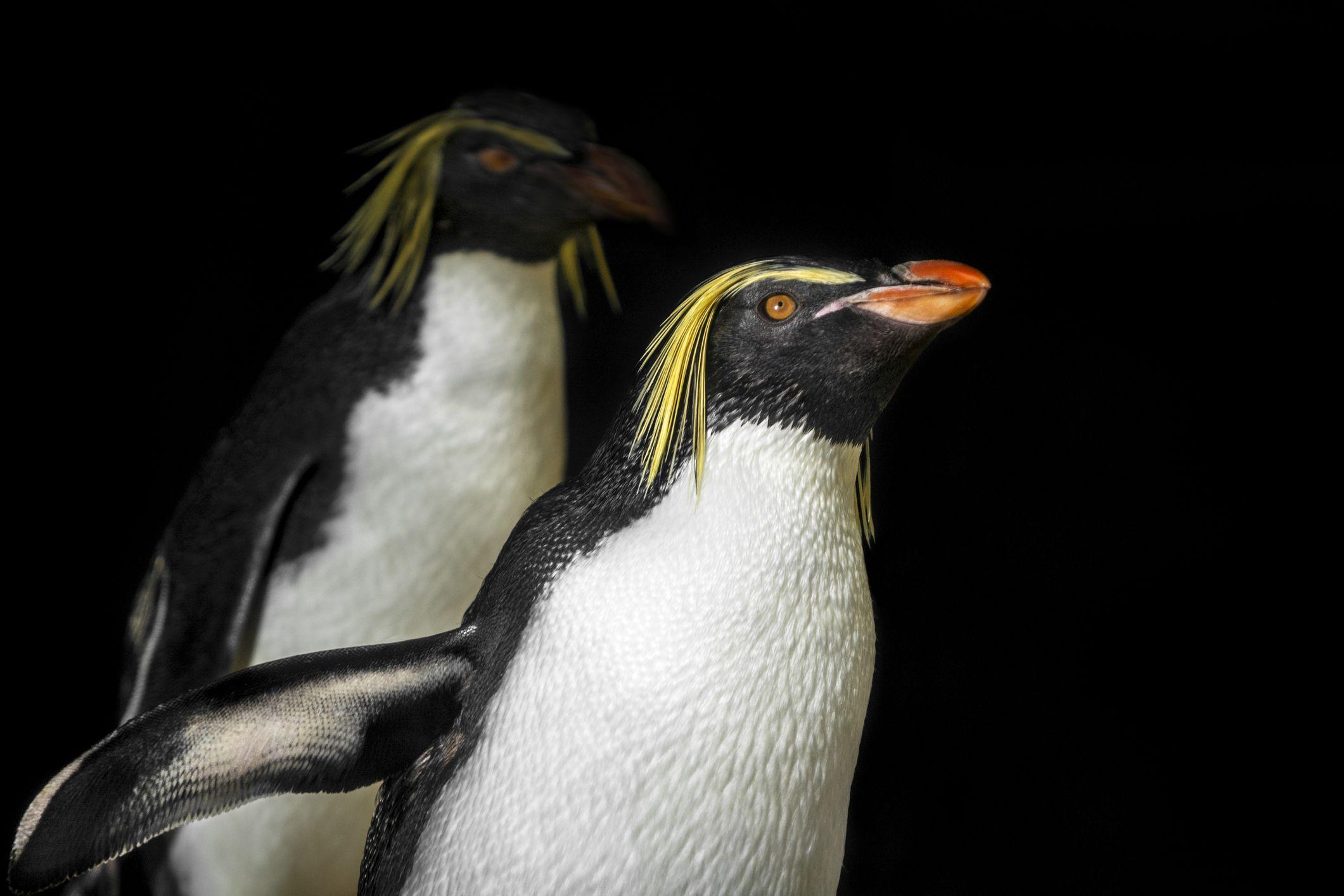 L'acquario è chiuso al pubblico, i pinguini se lo godono da visitatori (Video)