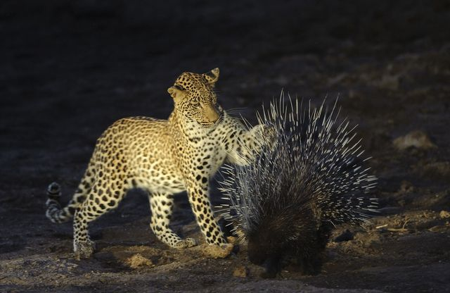 the leopard panthera pardus, is a member of the felidae family and the smallest of the four big cats in the genus panthera, the other three being the tiger, lion and jaguar