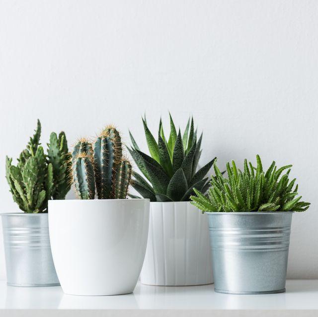 Flowerpot, White, Houseplant, Plant, Botany, Flower, Grass family, Grass, Room, Succulent plant,