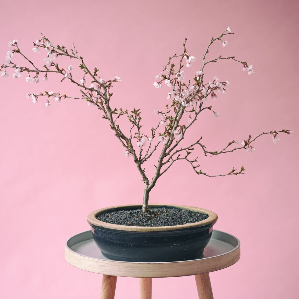 Amazon Is Selling A Grow-Your-Own Cherry Blossom Bonsai Tree Kit For $13