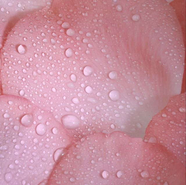 Close-up of pink rose petals with water drops in square.