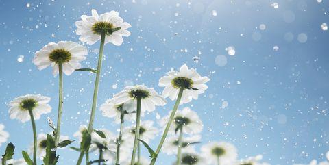 Sky, Flower, Plant, Daytime, Flowering plant, Wildflower, Meadow, Spring, Daisy, mayweed,