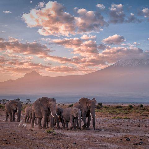 Elephants in a line at sunrise in front of Mt. Kilimanjaro, Amboseli National Park, Kenya, East Africa