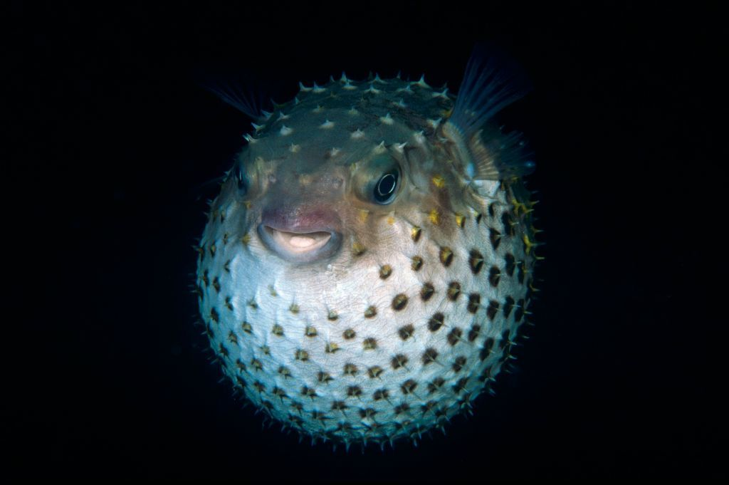 Climate Change Turning Pufferfish Into Mutant Hyrbrids