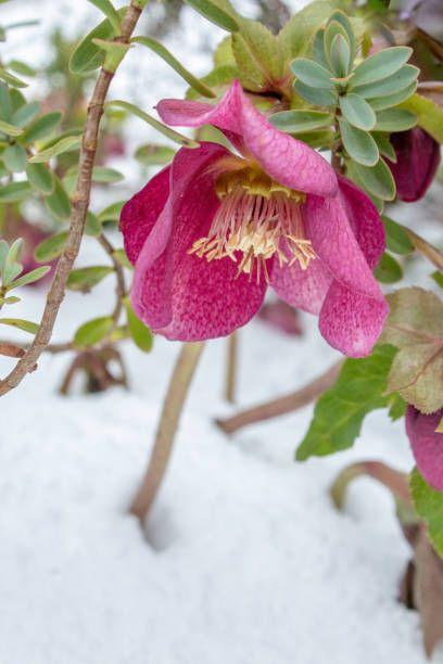 pink hellebore orientalis flower in deep white snow