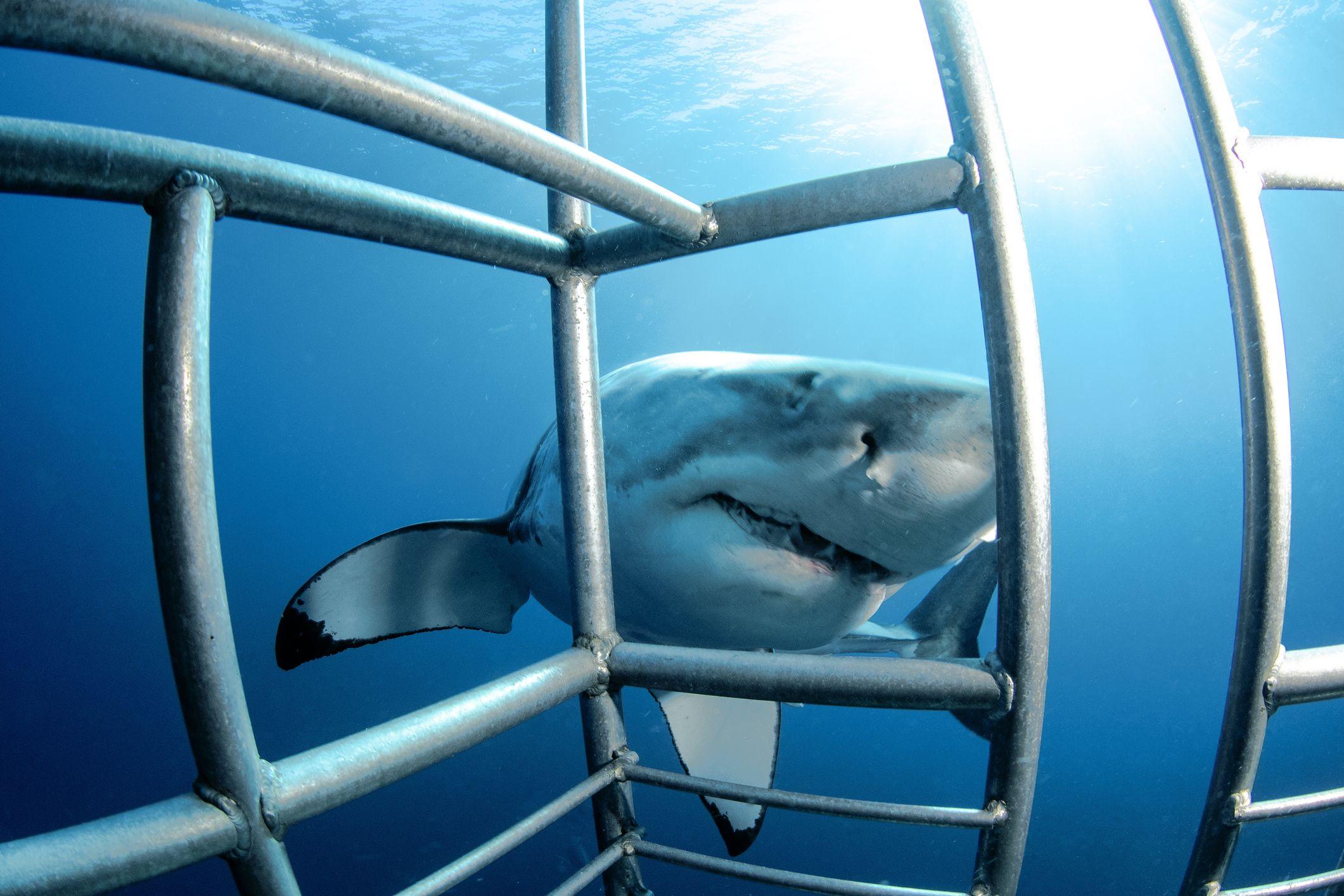 Il video terrificante di uno squalo bianco che cerca di mangiarsi due filmmaker entrando nella gabbia
