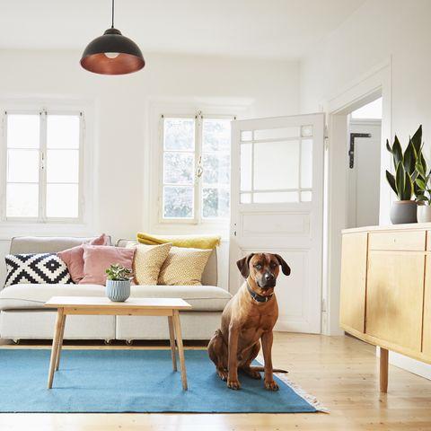 Rhodesian ridgeback sitting in bright modern livingroom