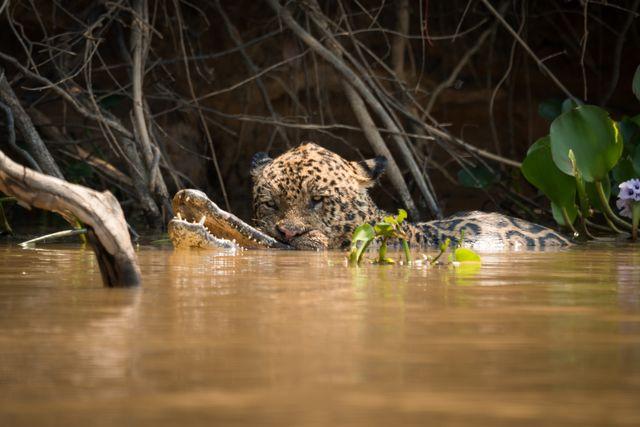 giaguaro attacca coccodrillo