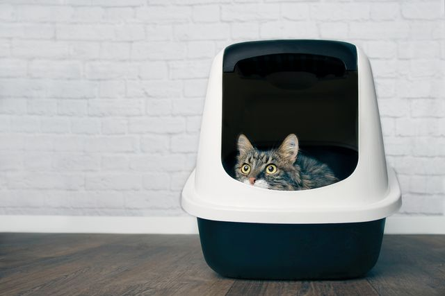 cute maine coon cat sitting in a closed llitter box and looking out curiously