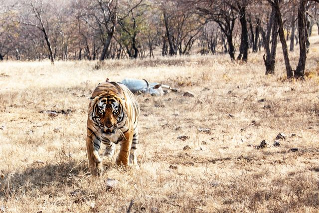 wildlife shot of tiger in ranthambore india he is defending his prey