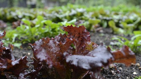red leaf lettuce in niki haydens  fall planting section of her boulder garden on wednesday september 12, 2012 in the background includes arugula, mizuna and a variety of leaf lettuce photo by paul aikendigital first mediaboulder daily camera via getty images