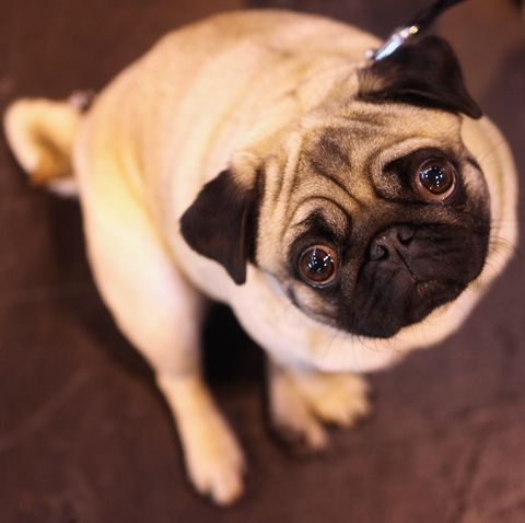 Dog, Pug, Dog breed, Canidae, Mammal, Skin, Snout, Puppy, Companion dog, Carnivore,