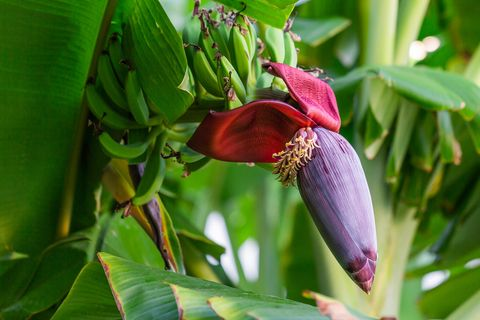 Flowering plant, Plant, Flower, Banana family, Leaf, Botany, Banana, Nepenthes, Bud, Plant stem,