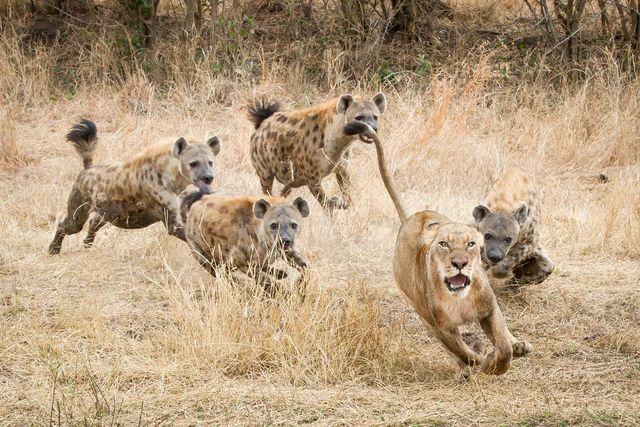 leone iena, iena attacca leone, video iena attacca leone, video leone