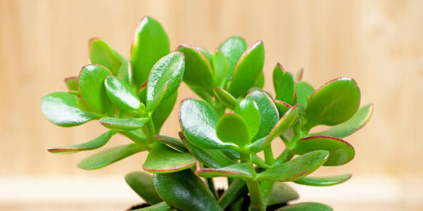 Here's How to Care for Low-Maintenance Jade Plants