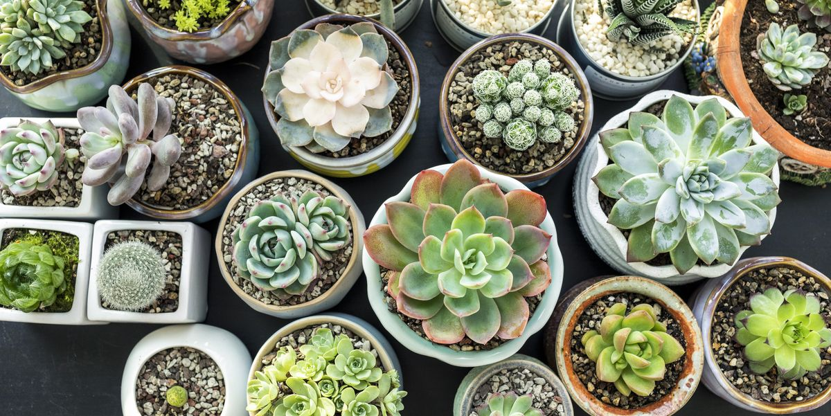 15 Best Succulent Plant Types And How To Grow Them Indoors Or Out