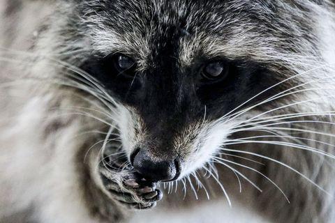 Whiskers, Snout, Close-up, Nose, Wildlife, Eye, Fur, Procyonidae, Procyon, Cat,