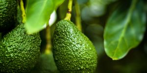 The AvoSeedo laat je je eigen avocado's oogsten en je koopt hem via Amazon.