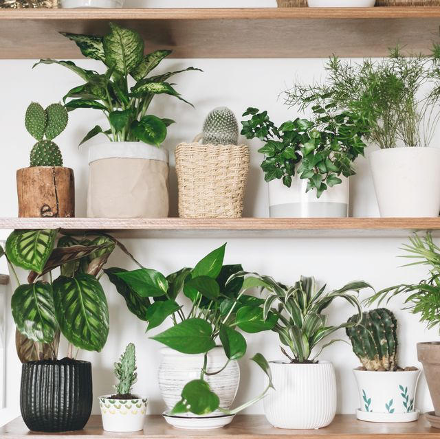 stylish wooden shelves with green plants and black watering can modern room decor cactus, dieffenbachia, asparagus, epipremnum, calathea,dracaena,ivy, palm,sansevieria in pots on shelf