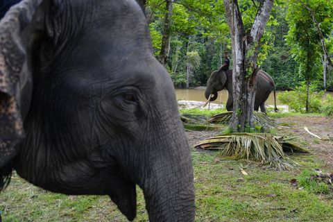 elephant endangered