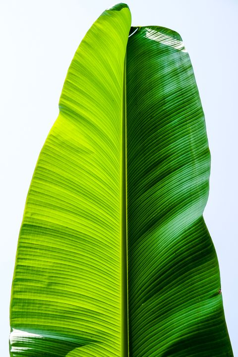 banana palm leaf