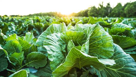 cabbage, cabbage field, organic food, organic farm, organic farming, farm, farming, farm field, farm no people 