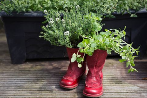 old boots recycled and repurposed as outdoor planters to grow fresh herbs thyme and oregano