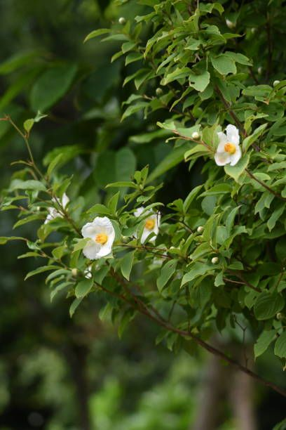 japonais stewartia stewartia pseudocamellia fleurs