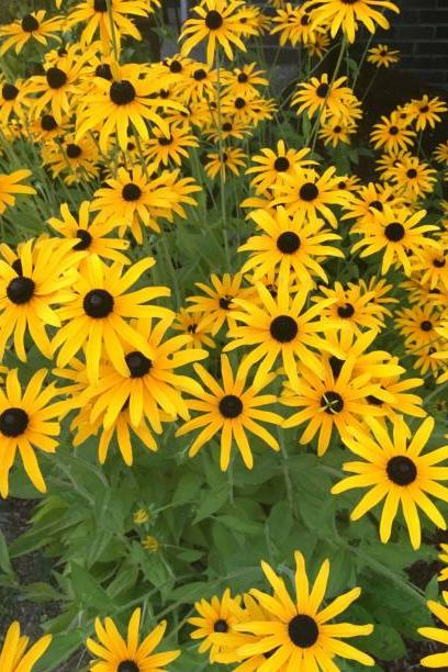 black eyed susan plants