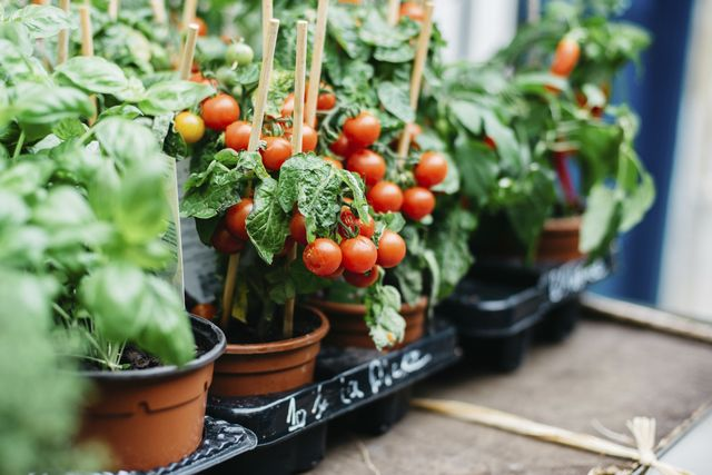 cherry tomato plants growing in pots