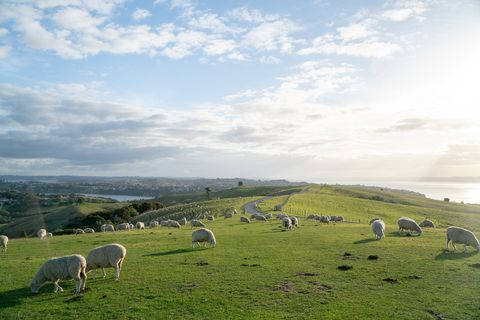 Pasture, Grassland, Grazing, Sheep, Sheep, Green, Sky, Natural landscape, Natural environment, Herd,