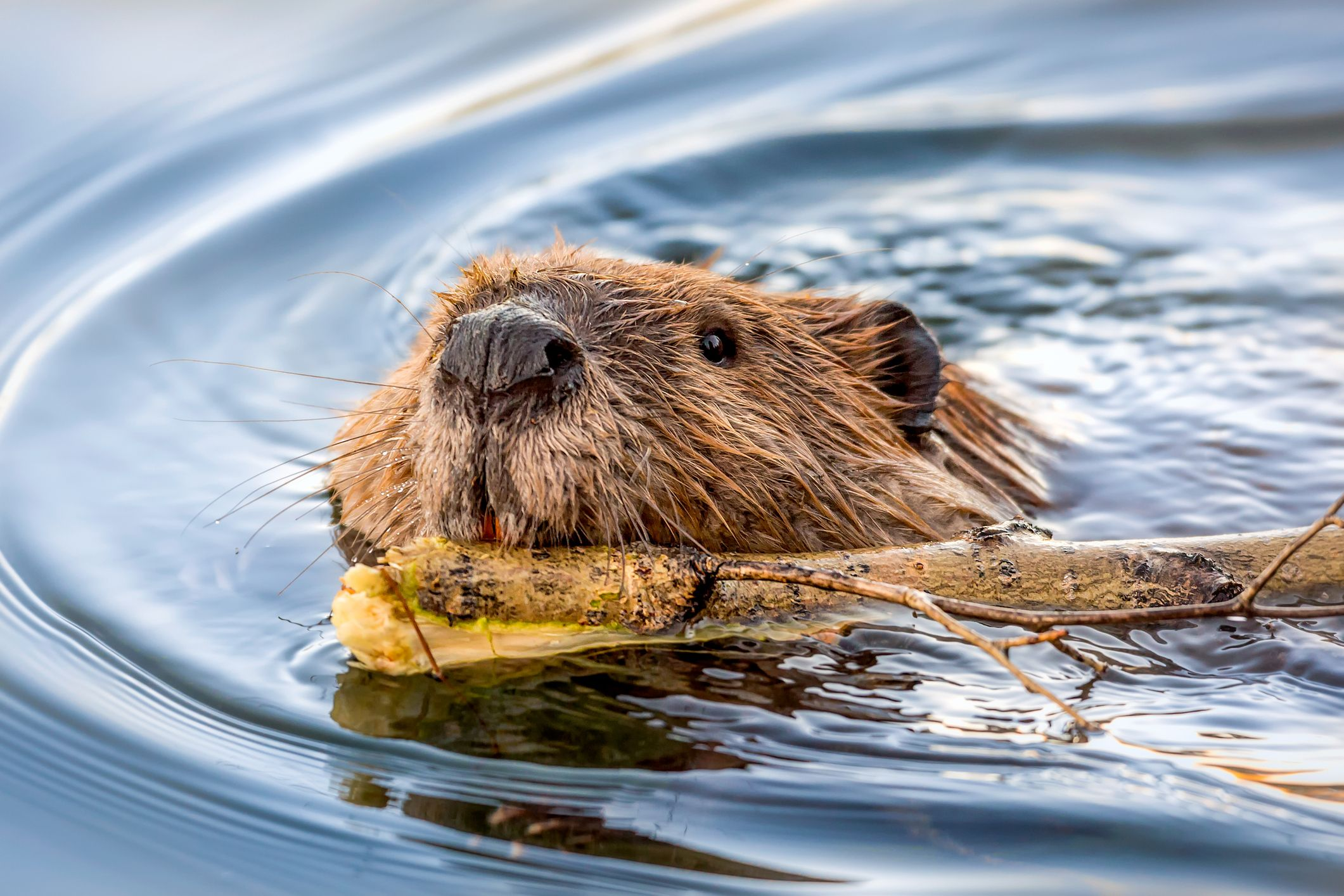 Beavers will be reintroduced in two south England locations next spring, say The National Trust