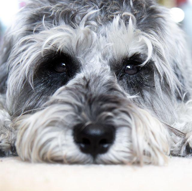 puppy miniature schnauzer lies on the floor