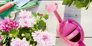 Still life of colorful Chrysanthemum plants and gardening equipment with pink watering can, shovel and gardening gloves on wooden background, directly above shot of planting flowers in garden