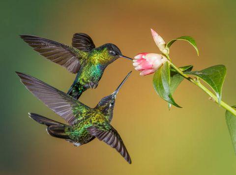 How To Attract Hummingbirds Hummingbird Food Recipe,Ginnie Pig