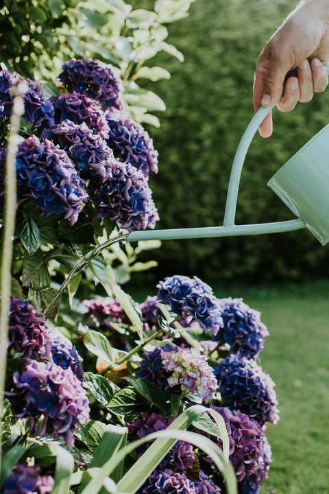 watering a purple hydrange in a garden