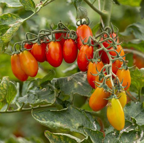 soorten-tomaat